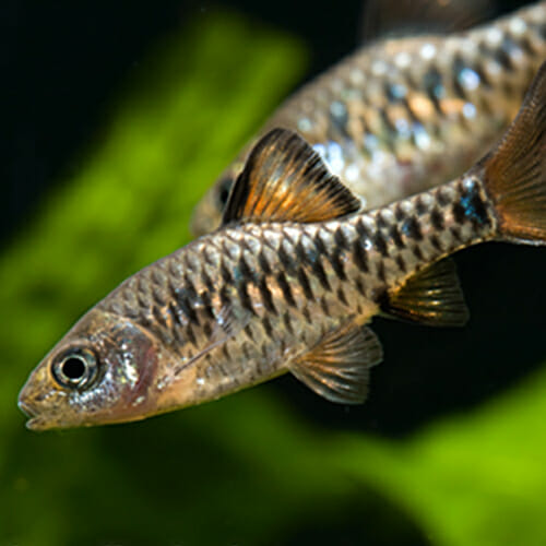 What can be kept in the norrom aquarium norrom for Gold barb fish