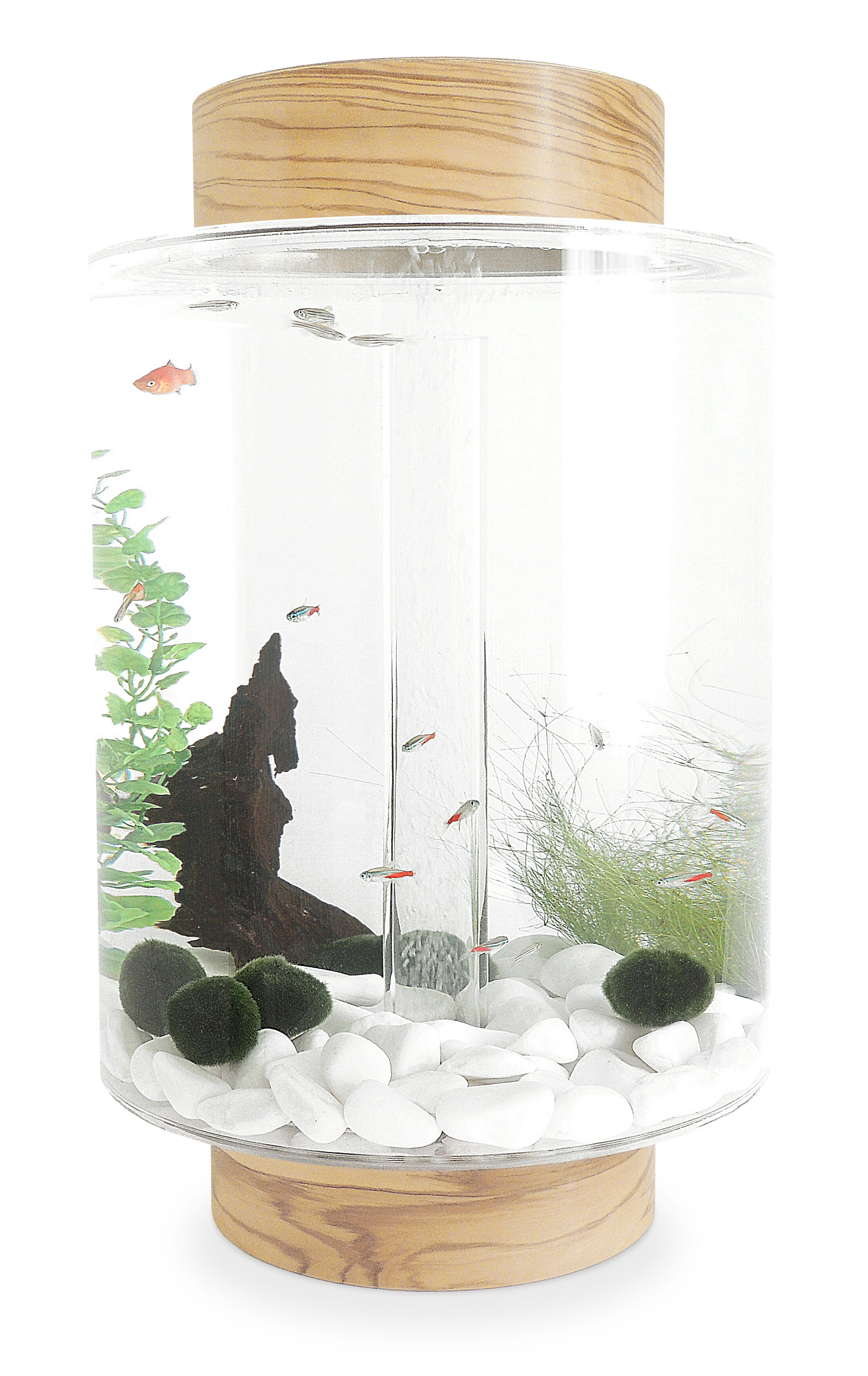 Olivewood aquarium with natural white stones